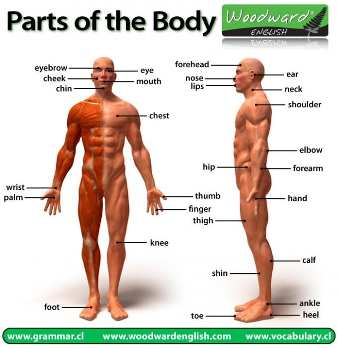 Parts of the Body in English picture