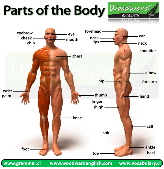 Parts Of The Body Picture Woodward English