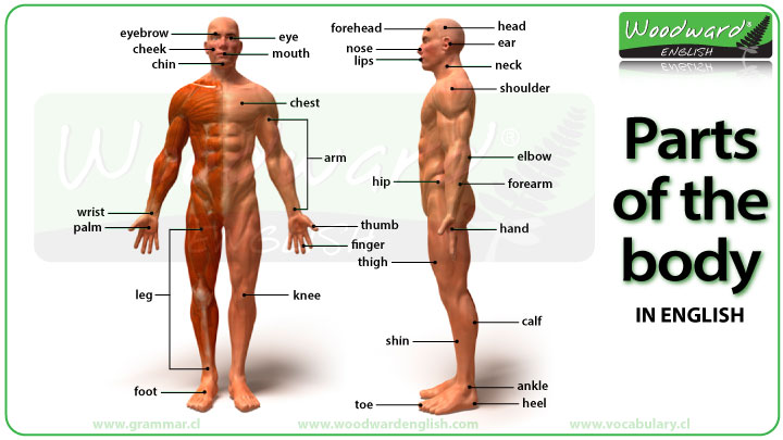 Parts of the Body in English - Vocabulary Chart