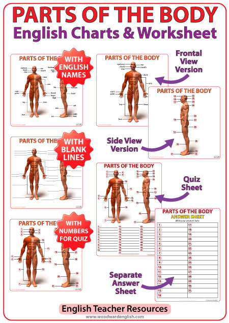 Parts of the body in English charts and worksheet for ESL students